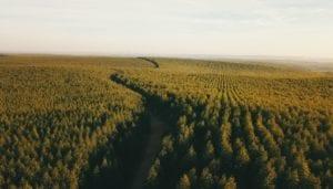Sandelholzbäume wie sie Quintus anbaut